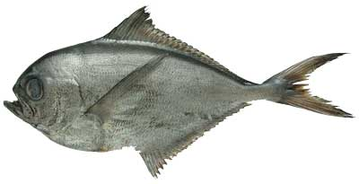 A photograph of a whole Chilean pomfret fish.